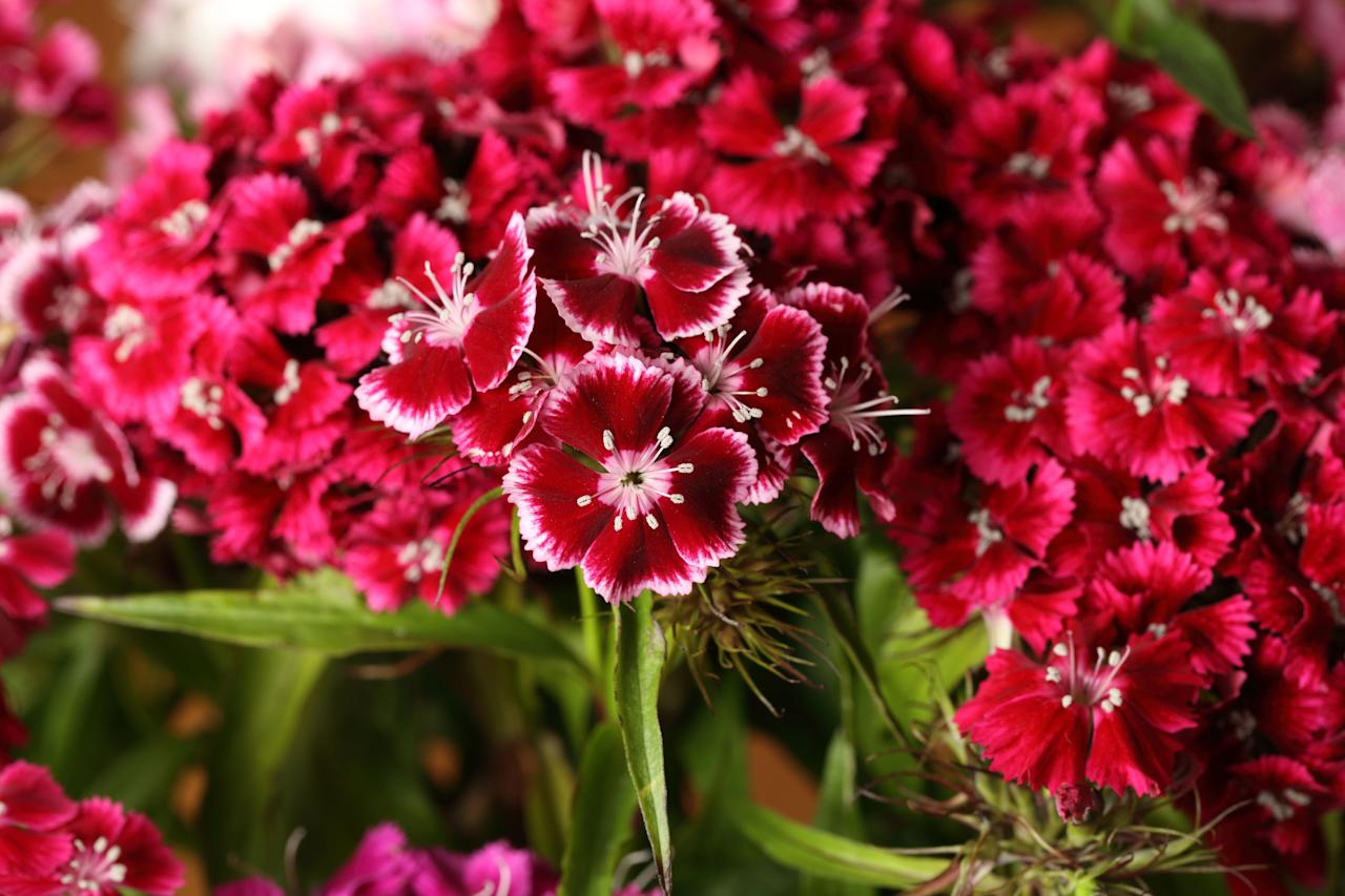 """<p>Dianthus belongs in your garden. This perennial has been cultivated for hundreds of years, and it always looks fresh and pretty in spring. The blooms are lovely and fragrant, with vibrant colors and gray-green foliage. Edge your borders with dianthus, and you'll add some lovely visual interest to your beds. We recommend <a href=""""http://southernlivingplants.com/the-collection/plant/scent-first-coconut-surprise-dianthus"""" target=""""_blank"""">Scent First Coconut Surprise</a> dianthus (<i>Dianthus hybrid</i> 'WE05Yves'), which emits a spicy natural fragrance, or <a href=""""http://southernlivingplants.com/the-collection/plant/scent-first-raspberry-surprise-dianthus"""" target=""""_blank"""">Scent First Raspberry Surprise</a> dianthus (<i>Dianthus hybrid</i> 'DevonYolande') for pretty pink blooms with a crimson heart.</p>"""