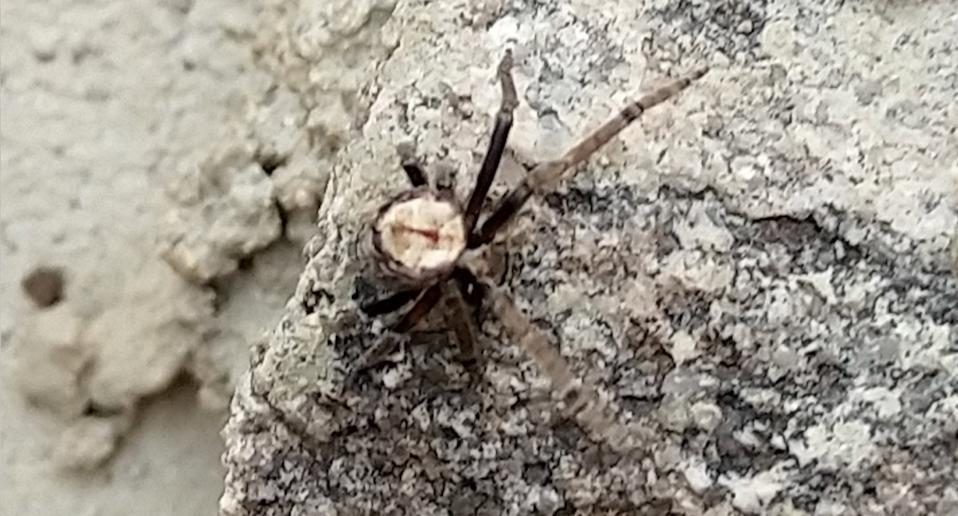 The spider, an acroaspis, pictured revealing its legs. Source: Supplied