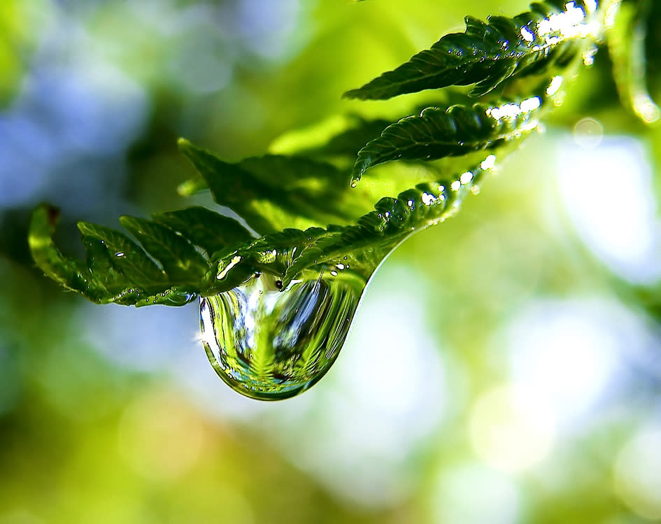 An image shows a water droplet hanging from a fern frond. Hydrogen bonds bind water molecules to each other, giving the droplet its characteristic shape. But they're easily broken. Researchers recently discovered a form of hydrogen bond so strong it's comparable to the covalent bonds binding hydrogen and oxygen together into water molecules within the droplet.