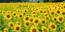 """<p>Head to the <a href=""""https://andersonsunflowers.com/"""" rel=""""nofollow noopener"""" target=""""_blank"""" data-ylk=""""slk:Anderson Sunflower Farm"""" class=""""link rapid-noclick-resp"""">Anderson Sunflower Farm</a> in Cumming, Georgia for a day of outdoor fun. This pet-friendly destination is the perfect place to bring your pup for a picnic. While you're there, you can purchase freshly picked flowers, local honey, and other fresh treats.</p><p><a class=""""link rapid-noclick-resp"""" href=""""https://go.redirectingat.com?id=74968X1596630&url=https%3A%2F%2Fwww.tripadvisor.com%2FTourism-g34877-Cumming_Georgia-Vacations.html&sref=https%3A%2F%2Fwww.countryliving.com%2Flife%2Ftravel%2Fg21937858%2Fsunflower-fields-near-me%2F"""" rel=""""nofollow noopener"""" target=""""_blank"""" data-ylk=""""slk:PLAN YOUR TRIP"""">PLAN YOUR TRIP</a></p>"""