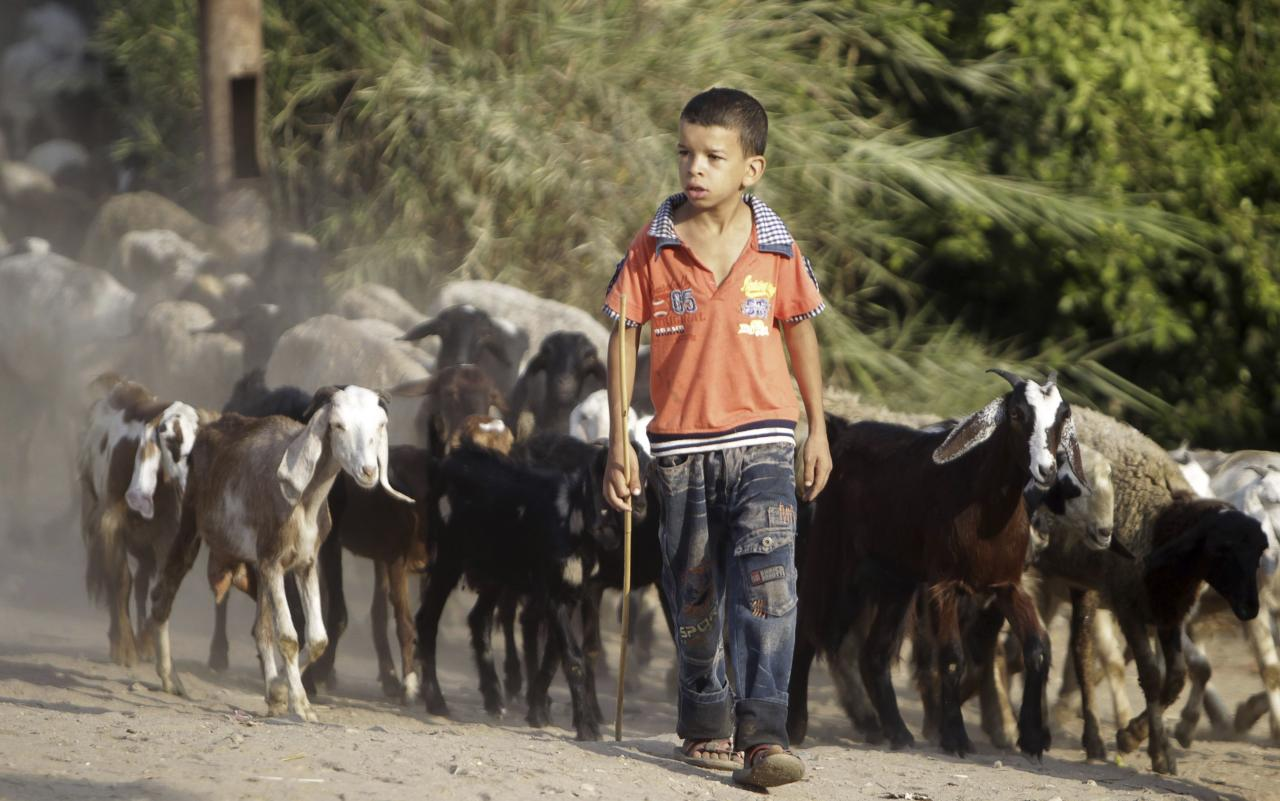 A boy herds his goats as he looks at students going to school during the first day of their new school year in Giza, south of Cairo September 22, 2013. Students resumed their studies at the beginning of the new academic year this weekend amid parental concerns of a possible lack of security after the summer vacation ends. REUTERS/Mohamed Abd El Ghany (EGYPT - Tags: POLITICS EDUCATION ANIMALS)