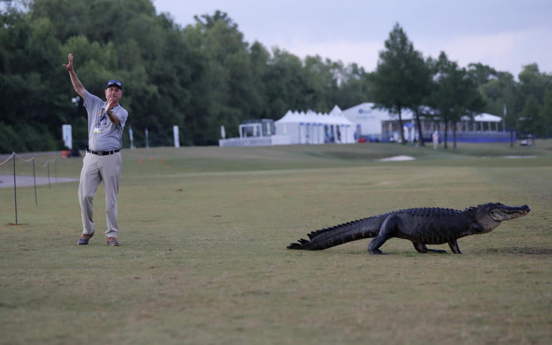 """Course marshal Bart Dornier gestures to golfers to walk around """"Tripod"""", a resident 3-legged alligator, as he crosses the 18th fairway during the first round of the PGA Zurich Classic golf tournament at TPC Louisiana in Avondale, La., Thursday, April 25, 2019. (AP Photo/Gerald Herbert)"""