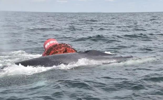 A 60-foot-long fin whale is presumed dead after it got entangled in a navigation buoy.  (Campobello Whale Rescue Team - image credit)