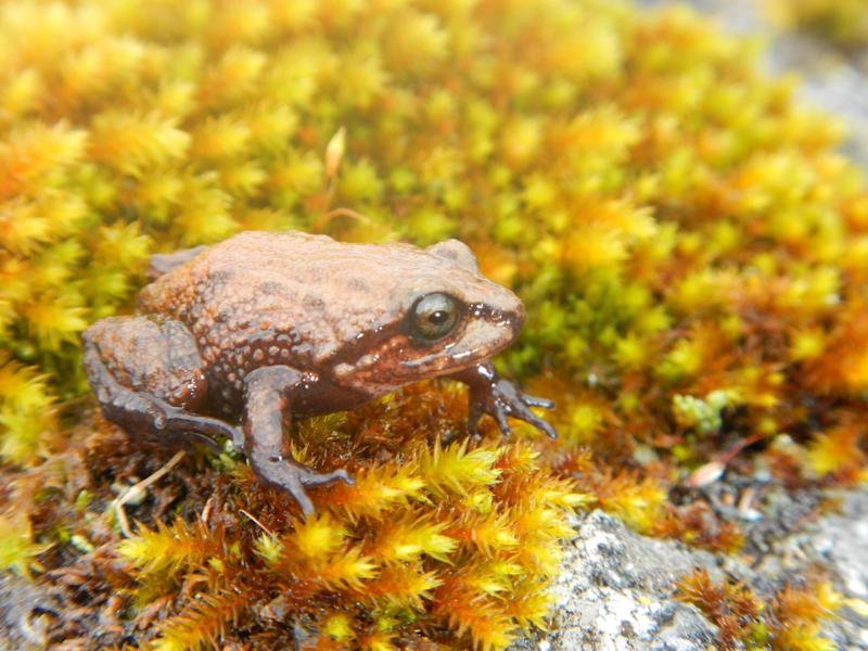 The frog was discovered in the mountains of central Peru living at altitudes of up to nearly 4,000 metres: pics: Dr Edgar Lehr