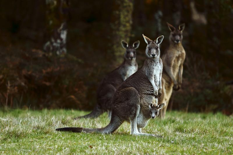 Joeys Don't Share: Wild Kangaroo Viciously Attacks Australian Couple