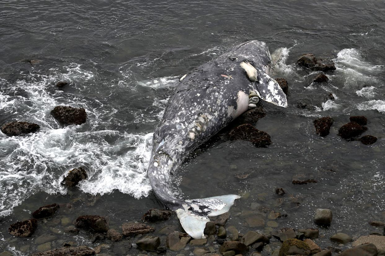 A dead gray whalenear Pacifica State Beach on May 14. (Photo: Justin Sullivan via Getty Images)