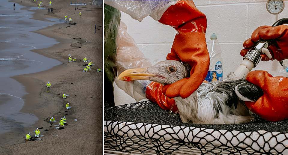Left - experts in hi-vis cleaning a California beach. Right - a gull being washed down.