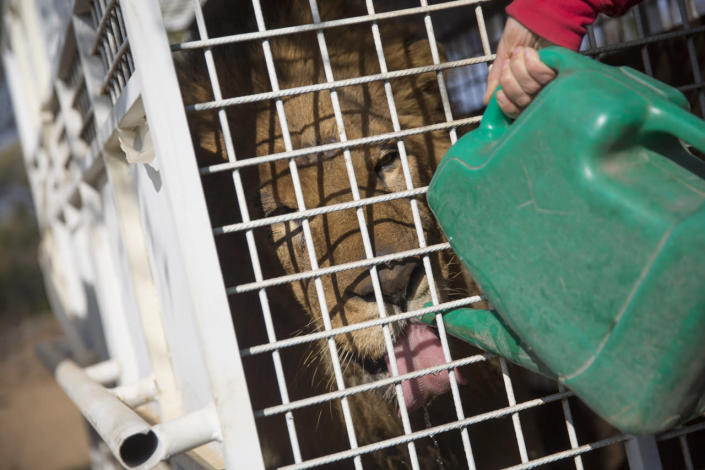 <p>Animal Defenders International worker Yani Mateus gives one of the 33 lions water ahead of its release into its new enclosure at the Emoya Big Cat Sanctuary on May 1, 2016, in Vaalwater, South Africa. <i>(Dan Kitwood/Getty Images)</i></p>