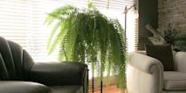 <p>It's a beautiful plant, but you don't need one in every room. In the 90s and 2000s these plants took over homes, but there's no need to make your living room look like a greenhouse. </p>