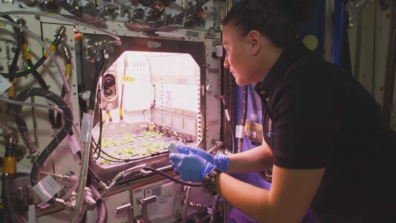 NASA astronaut Serena Auñón-Chancellor works on plant shoots for the Plant habitat. Image courtesy: NASA