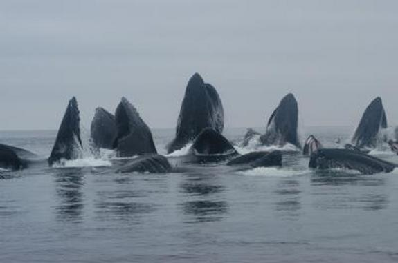 Distinct Humpback Whale Populations Found in North Pacific