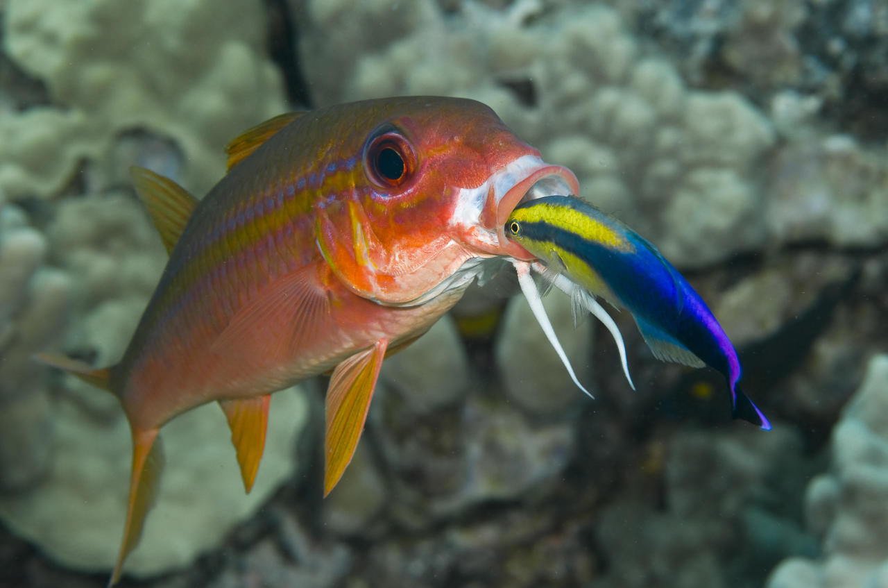 <p>A Hawaiian cleaner wrasse provides its cleaning services to a yellowfin goatfish in a reef community off the Big Island in Hawaii. Cleaner species help rid their hosts of ectoparasites, dead tissue, bacteria and fungi. Studies have shown cleaning to play a vital role in keeping many reef ecosystems healthy. (Photo: Marty Snyderman/Caters News) </p>