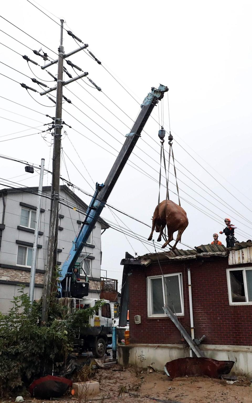 The cows were eventually lifted down by crane - STR/AFP