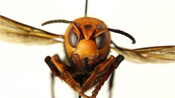 """Look into the eyes of this """"murder hornet."""" The invasive species slaughters honeybees and can be deadly to humans."""