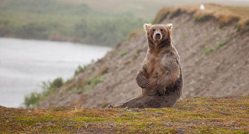 The grizzly bear had been sedated and tagged by researches when they took the photo. Source: File/Getty Images