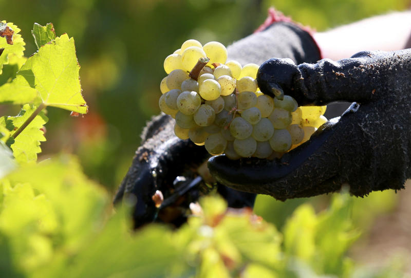 FILE - In this Sept. 4, 2012 file photo, a worker collects white grapes in the vineyards of the Chateau Haut Brion, a Premier Grand Cru des Graves, during the grape harvest in Pessac-Leognan, near Bordeaux, southwestern France. Scientists using biomolecular analysis of ancient amphorae have proven that winemaking began in France as early as the fifth century BC, when local Celts picked up viticultural techniques from seafaring Etruscans from central Italy. (AP Photo/Bob Edme, File)