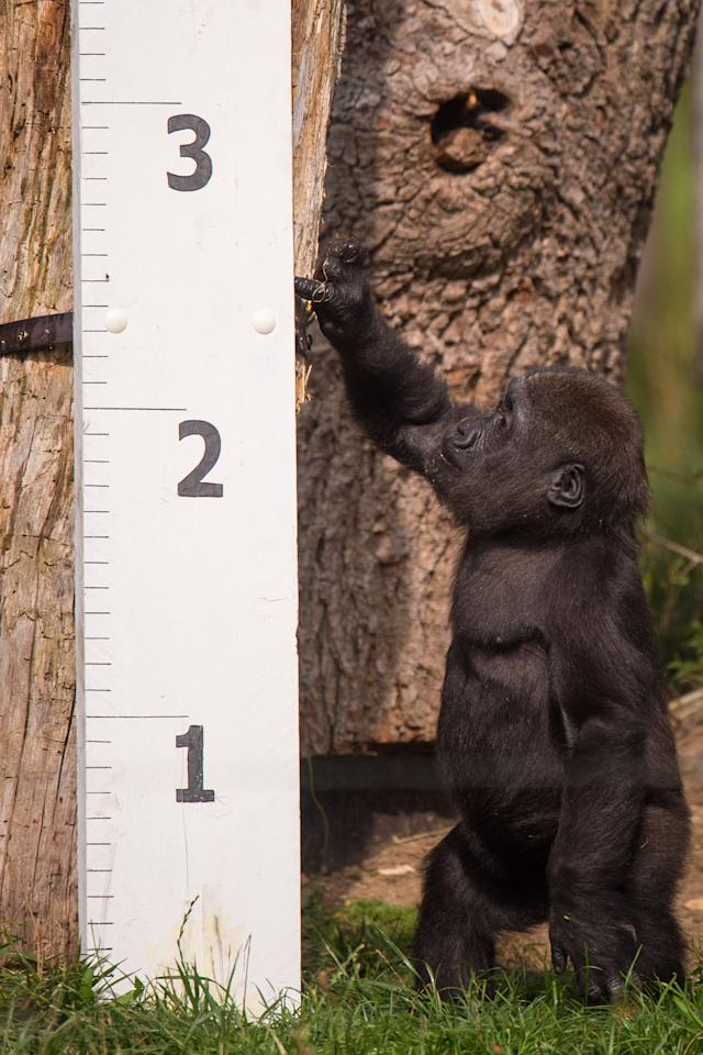 <p>A tiny gorilla attempts to work out exactly what's happening as they await the weigh in… (Picture: ZSL London Zoo) </p>