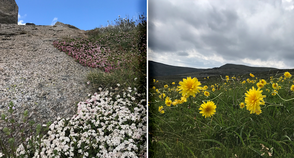 The alpine rice flower (left) and murnong (right) are two species that researchers are concerned about. Source: Casey Kirchhoff/iNaturalist, CC BY-NC