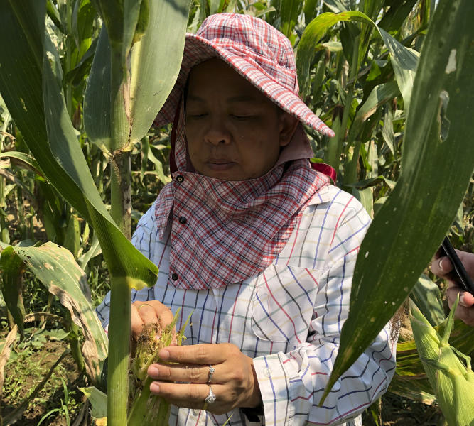 In this March 13, 2019, photo, Uraporn Nournart, a field expert at Thailand's agriculture ministry, points to plants affected by the fall armyworm in Tha Muang, Thailand. The pest is munching its way through corn fields around the globe, raising alarm over damage to crops as it spreads into areas that may lack its natural enemies. (AP Photo/Elaine Kurtenbach)