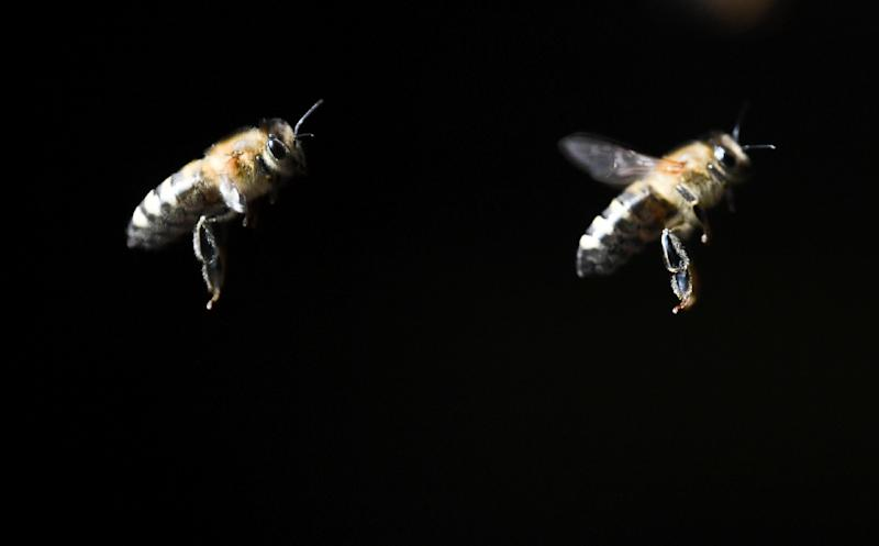 "Bees around the world -- especially in Europe and North America -- have been decimated in recent years by a mysterious blight called ""colony collapse disorder"", in which entire populations disappear or die out"