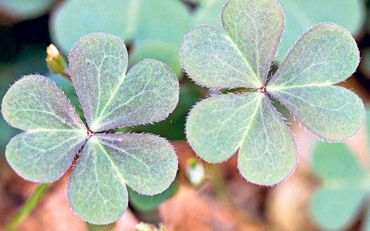Green-leafed shamrock is hard work to remove, but best tackled in spring  - Alamy