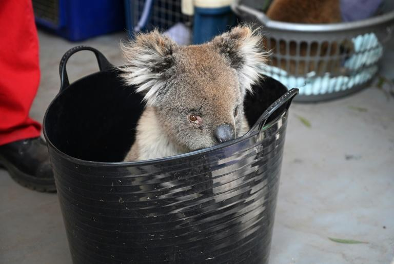 An injured koala waits to be treated on Kangaroo Island (AFP Photo/PETER PARKS)