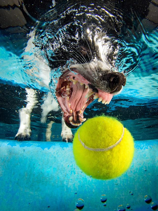 <p>A Jack Russell-Japanese spitz cross chases the underwater ball. (Photo: Jonny Simpson-Lee/Caters News) </p>