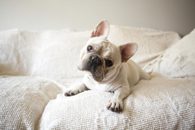 The French Bulldog has been knocked off the top spot by the Labrador. [Photo: Getty]