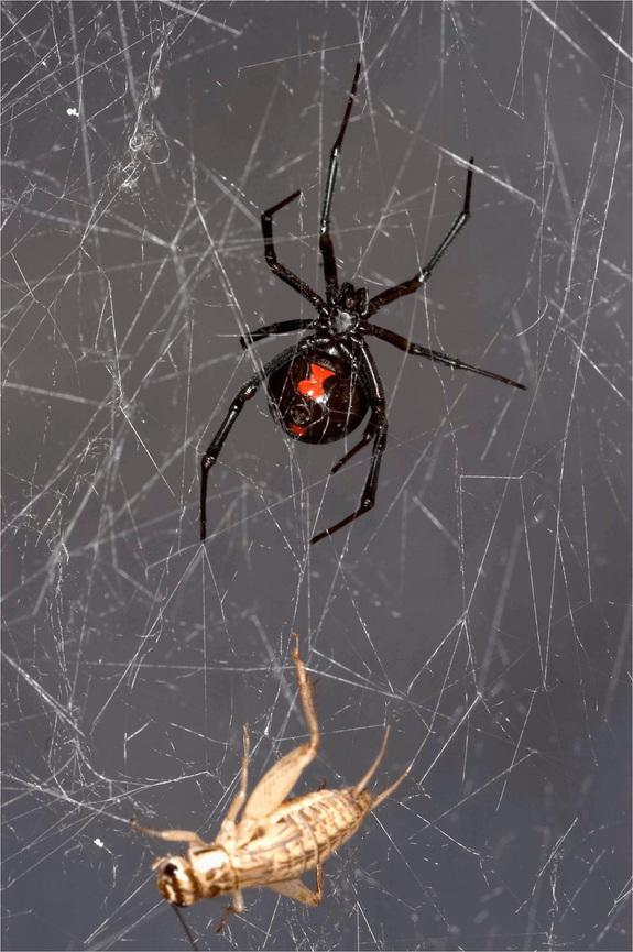 Cobwebs Hold Genetic Secrets About Spiders and Their Prey