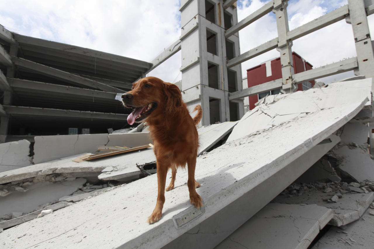 In a photo provided by Miami-Dade Fire Rescue, a rescue dog is shown in the rubble after a section of a parking garage under construction at a Miami-Dade College campus collapsed, Wednesday, Oct. 10, 2012 in Doral, Fla., killing one worker and trapping at least two others in the rubble, officials said. (AP Photo/Miami-Dade Fire Rescue)(AP Photo/Miami-Dade Fire Rescue)