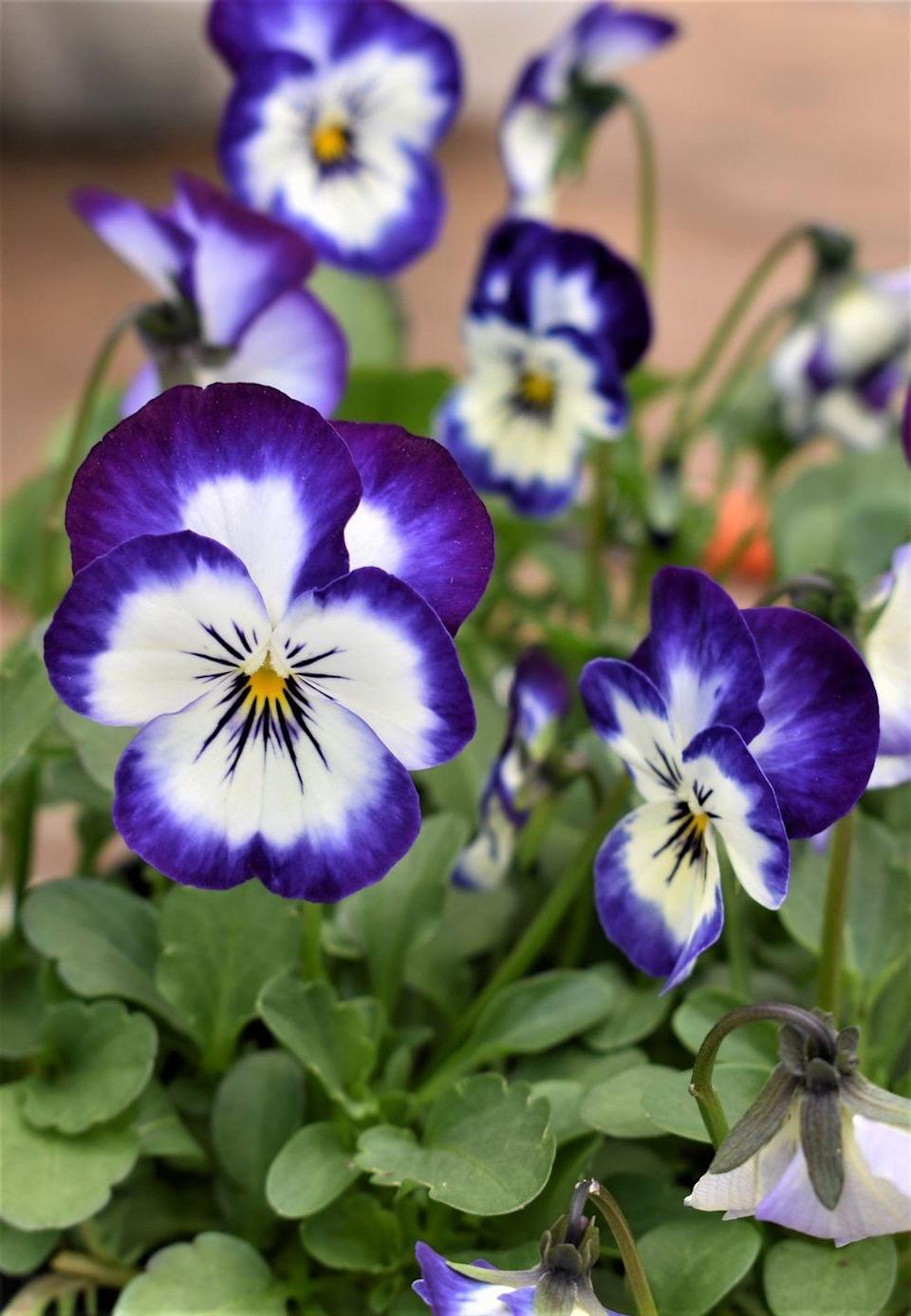 """<p>A cool-weather favourite, pansies are great for kids thanks to their abundance of head-turning colours. Ideal for growing in patio containers, borders and pots, your kids will love slipping on their <a href=""""https://www.housebeautiful.com/uk/garden/g31246169/gardening-gloves/"""" rel=""""nofollow noopener"""" target=""""_blank"""" data-ylk=""""slk:gardening gloves"""" class=""""link rapid-noclick-resp"""">gardening gloves</a> and getting involved. </p><p><a class=""""link rapid-noclick-resp"""" href=""""https://go.redirectingat.com?id=127X1599956&url=https%3A%2F%2Fwww.thompson-morgan.com%2Fp%2Fviola-autumn-jewels-mixed-garden-ready%2FT62669TM&sref=https%3A%2F%2Fwww.housebeautiful.com%2Fuk%2Fgarden%2Fplants%2Fg36446066%2Fplants-for-kids%2F"""" rel=""""nofollow noopener"""" target=""""_blank"""" data-ylk=""""slk:BUY NOW VIA THOMPSON & MORGAN"""">BUY NOW VIA THOMPSON & MORGAN</a> </p>"""