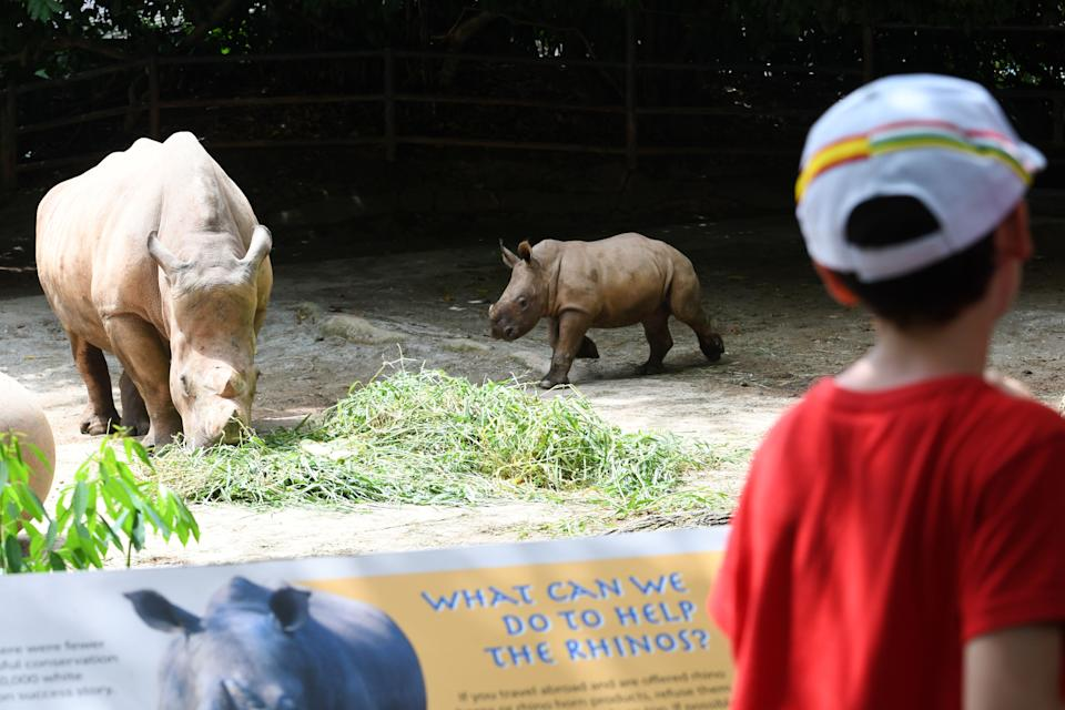A baby white rhino, which was born in 2019, runs around its enclosure at the Singapore Zoo in Singapore on February 18, 2020. (PHOTO: AFP via Getty Images)