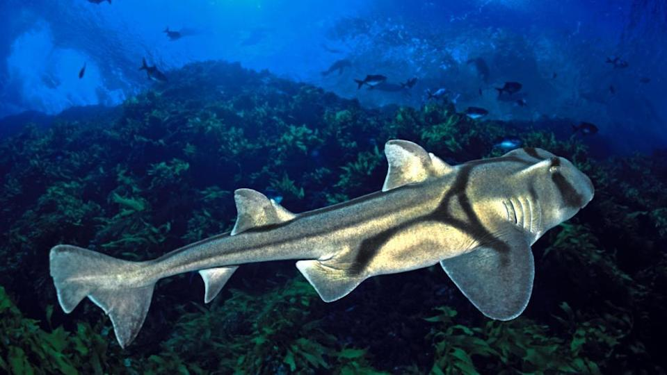 Port Jackson sharks swim north in winter to breed.