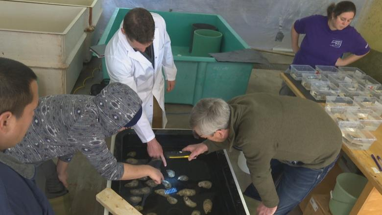 Booming P.E.I. business born from oyster seed sales