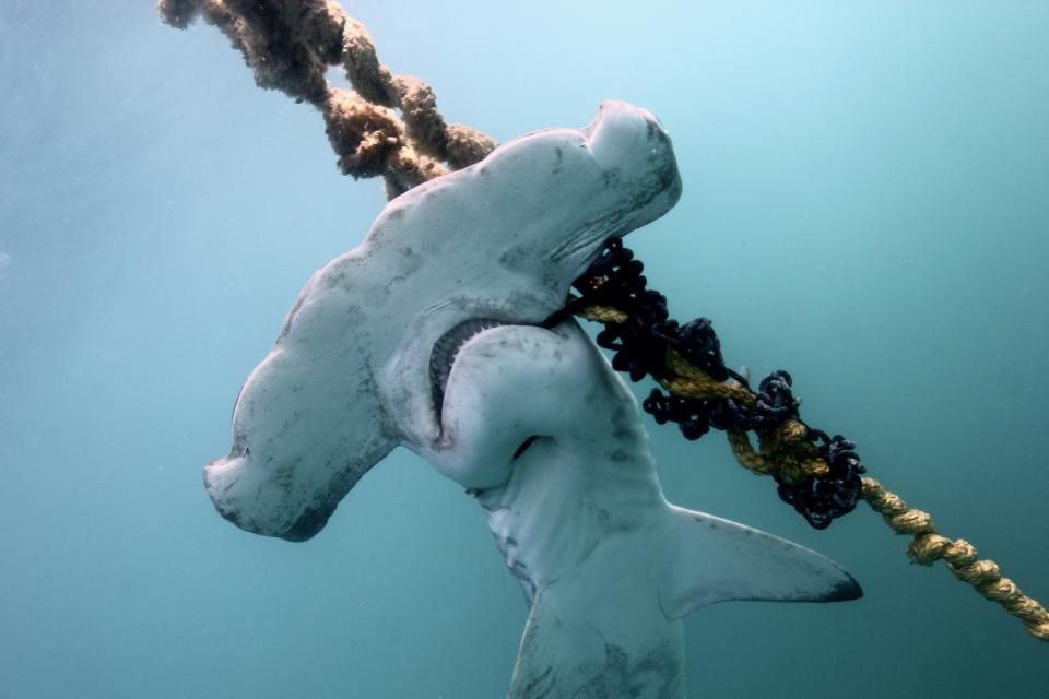 Close up of a hammerhead shark caught on a drum line.