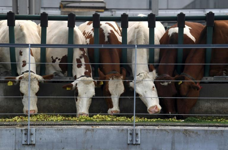The cows are fed on a mixture of food including grapes from a foodbank, grain from a local brewery, and grass from local golf courses and from Rotterdam's Feyenoord football club (AFP/John THYS)