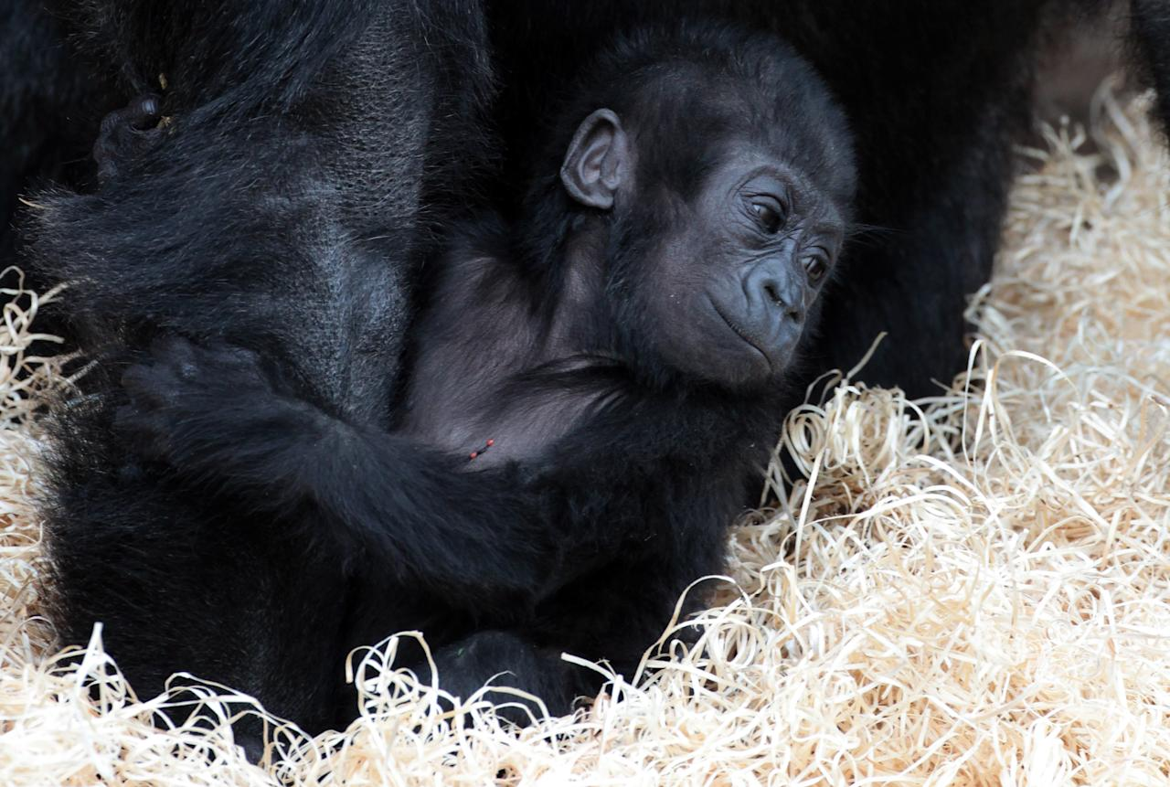 Bristol Zoo's baby gorilla Kukena holds onto his mother as he takes some of his first steps as he ventures out of his enclosure with his mother Salome at Bristol Zoo's Gorilla Island on May 4, 2012 in Bristol, England. The seven-month-old western lowland gorilla is starting to find his feet as he learns to walk having been born at the zoo in September. Kukena joins a family of gorillas at the zoo that are part of an international conservation breeding programme for the western lowland gorilla, which is a critically endangered species.  (Photo by Matt Cardy/Getty Images)