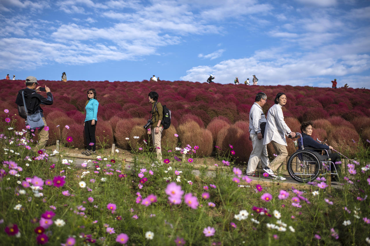 <p>Visitors enjoy the red Kochias (summer cypresses) at Japan's Hitachi Seaside Park. For a brief period from early to mid October each year, the flowers turn from green to vivid red. (Getty Images) </p>