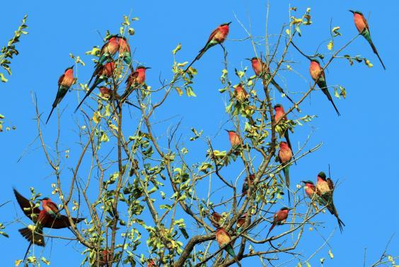 Carmine Bee Eaters in South Luangwa (Will Whitford)