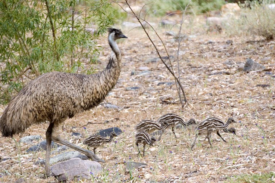 A stock image of a mother emu with six chicks.