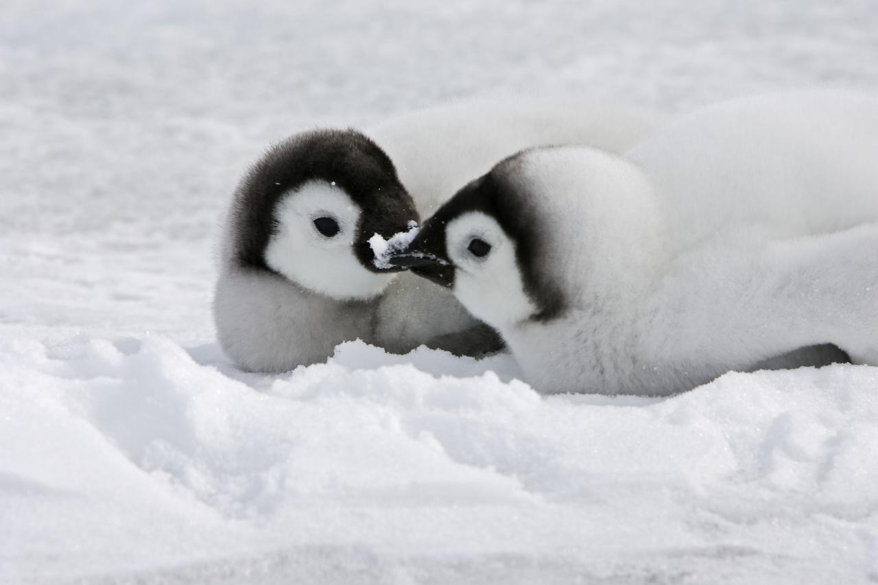 ** MANDATORY BYLINE ** PIC BY M.WATSON / ARDEA / CATERS NEWS - (Pictured a pair of Emperor penguins sharing a kiss) - From a loving look to an affectionate nuzzle, these are the charming images of cute creatures cosying up for Valentines Day. And as the heart-warming pictures show the animal kingdom can be just as romantic as us humans when it comes to celebrating the big day. SEE CATERS COPY.