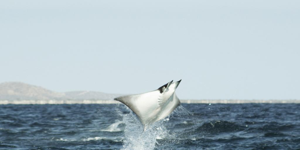 <b>Mobula Ray</b> (Mobula munkiana)<br>Sea of Cortez, Baja, Mexico<br><br>A female mobula ray is limited to bearing one pup at a time, making it a challenge for this near-threatened species to rebound.