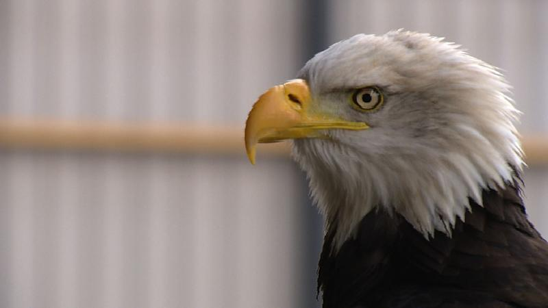Dutch police are using eagles to deal with unauthorised drone flights in restricted areas such as airports and over crowds (AFP Photo/)