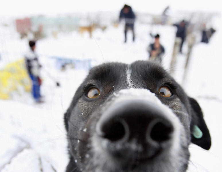 FILE - In this Feb. 10, 2010 file picture a dog looks on as men shovel snow from a cage at a stray dog shelter in a field outside Bucharest, Romania.The mayor of the Romanian capital said Thursday, Sept. 5, 2013, there will be a referendum on whether thousands of stray dogs should be euthanized after a 4-year-old boy was fatally mauled by a stray on Monday. (AP Photo/Vadim Ghirda, File)