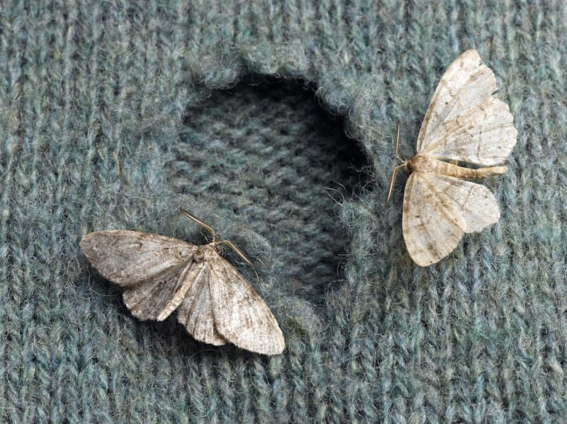 Reported incidents of clothes moth infestation have also risen by a third in the year up to the end of March: Jeffrey Coolidge/ Getty Images