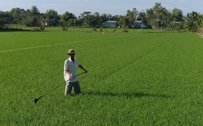 Nguyen Hien Thien works on his rice field in the southern Mekong delta province of Can Tho (AFP Photo/Hoang Dinh Nam)