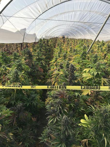 PHOTO: According to officials, 350,000 plants and 20 tons of processed cannabis were seized on June 17th, 2019 (Santa Barbara County Sheriff's Office)
