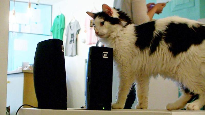 Cats Listen, React to Cat Music at a Cat Cafe in New York City