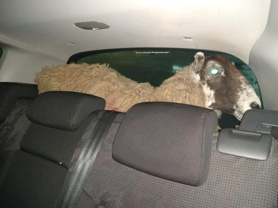 Police stopped a car that had run through a red light - only to discover a SHEEP in the boot.  See SWNS story SWMDsheep. Leicestershire police said the ewe, which was found in the back of a Peugeot in Loughborough High Street on Friday (2/2) at 8.50pm. The farm animal is said to be in good health after being found stood up in the rear of the vehicle.  The police are investigating but the driver and passenger claimed the animal was brought legitimately.