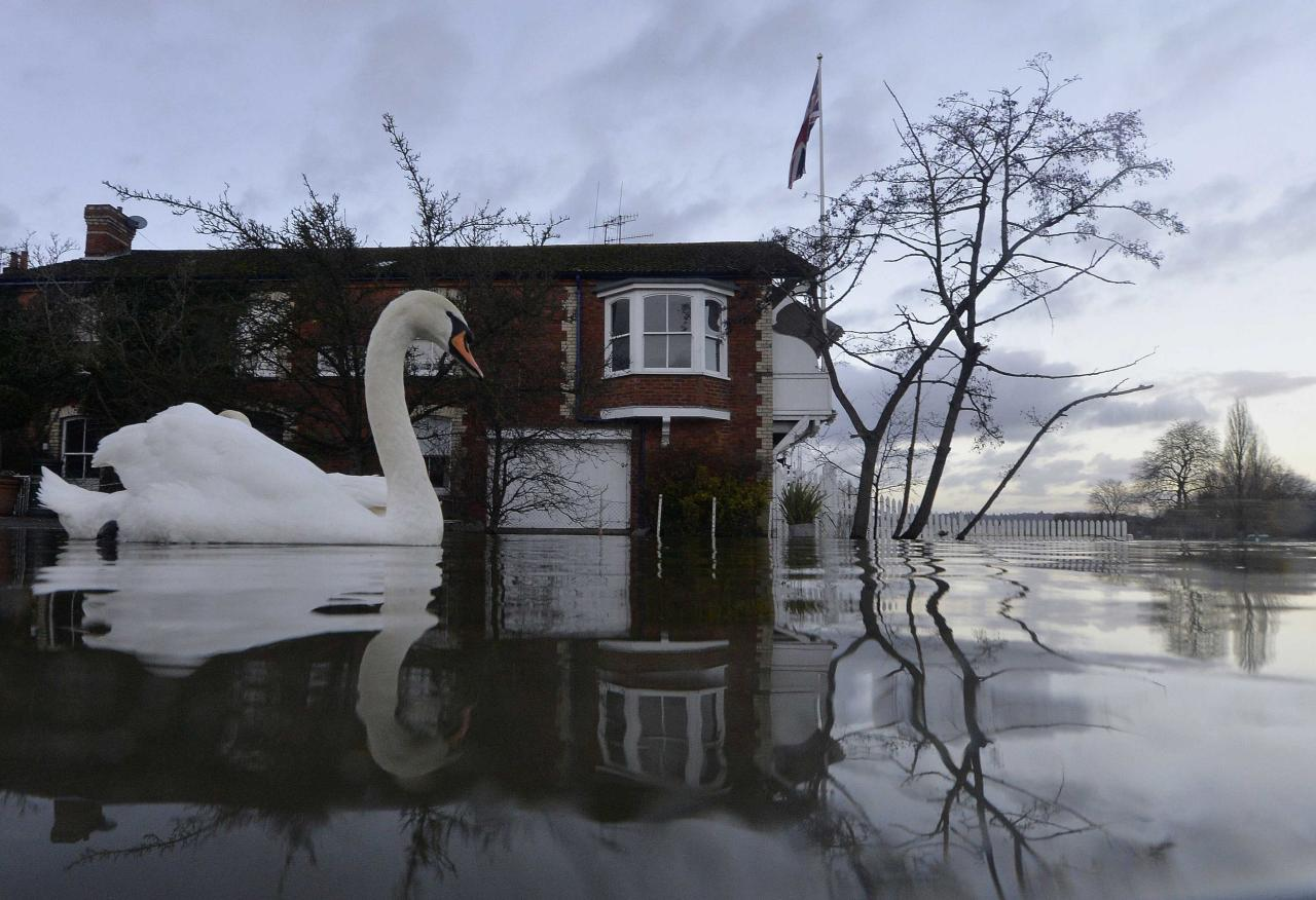 Swans swim near riverside properties partially submerged in floodwaters at Henley-on-Thames in southern England, January 13, 2014. Britain's insurers are preparing to pay out hundreds of millions of pounds in claims following a run of winter storms that have flooded homes and disrupted travel, though the absence of major damage should limit the impact on their 2013 results. More than 1,700 homes and businesses have been affected by the floods in England since late December, which also killed seven people, according to news reports. REUTERS/Toby Melville (BRITAIN - Tags: ENVIRONMENT DISASTER ANIMALS TPX IMAGES OF THE DAY)